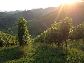 Slovenia - wine yard